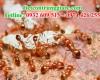 Những loài kiến phổ biến nhất