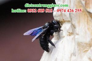 Cách thoát khỏi ong thợ mộc