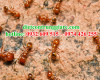 Tác hại của kiến?
