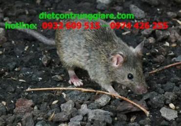 Thiệt hại do chuột gây ra