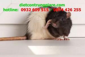 Sự khác biệt giữa chuột cống và chuột nhắt
