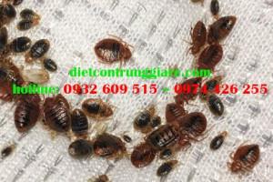 Cách chữa trị rệp cắn