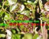 Cách điều trị và ngăn ngừa đốm lá trên cây