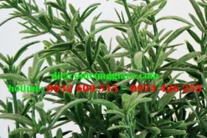 Cây hương thảo có diệt bọ chét không?