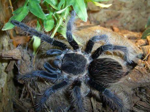 nhen tarantula curlyhair