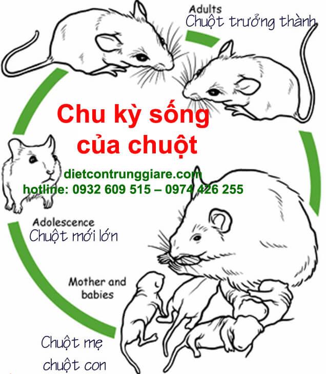 chu ky song cua chuot