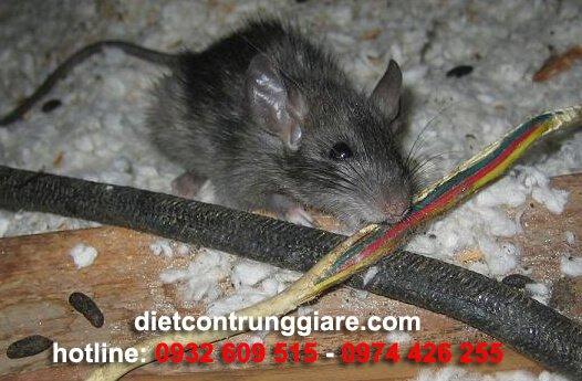 tìm hiểu về loài Chuột
