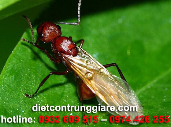 kiến cánh có nguy hiểm không