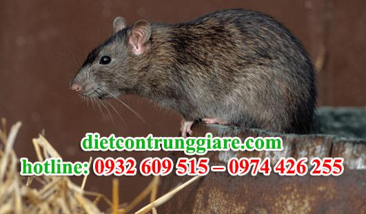 dịch vụ diệt chuột giá rẻ tại tphcm