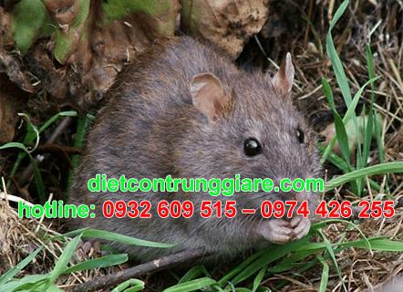 diệt chuột tại quận 8 giá rẻ