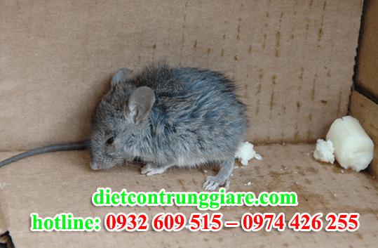diệt chuột tại quận tân phú giá rẻ