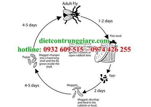 quá trình sinh trưởng và phát triển của ruồi