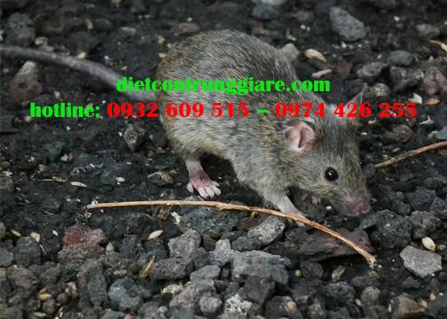 7 bệnh nguy hiểm do chuột gây ra
