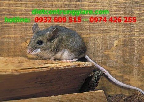 Chuột Hươu có nguy hiểm không?