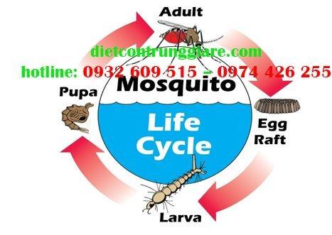 Quá trình phát triển của muỗi