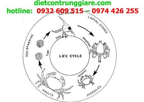 Vòng đời phát triển của bọ cạp