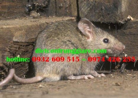 Chuột mang bệnh gì?