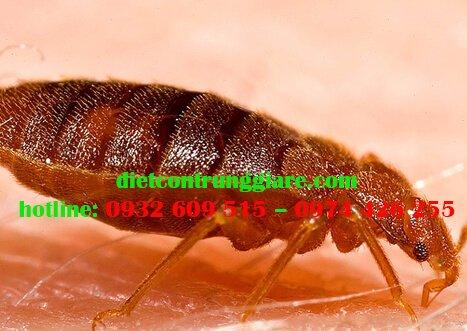 Tác hại của bọ chét là gì?