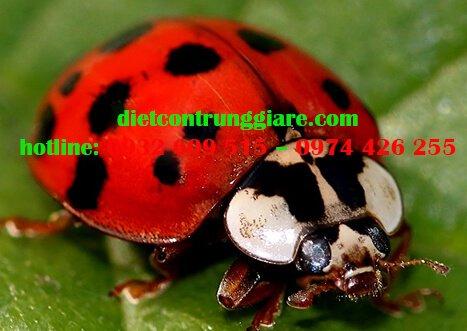 Những côn trùng giống bọ rùa