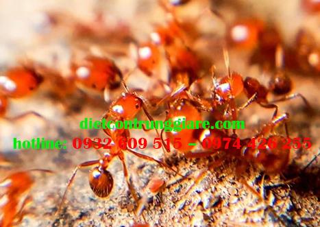 10 điều cần biết về kiến lửa