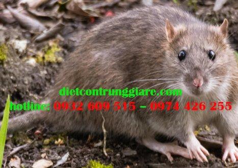 Mối nguy hiểm của chuột nhà