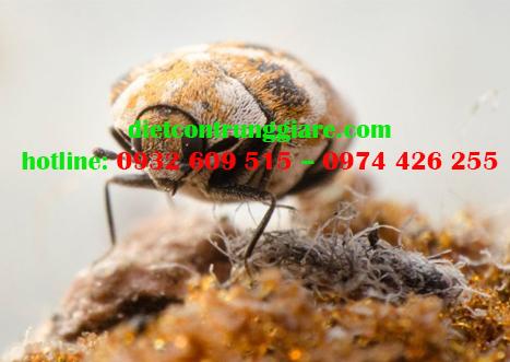 Tác hại của bọ thảm là gì?