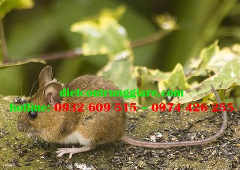 Chuột thường làm tổ ở đâu?